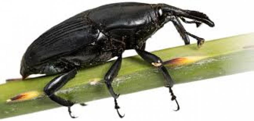 Ofrece CONAFOR taller para el manejo y control de la plaga del picudo negro